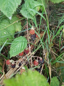 Late August, given heavy rain and sun for a full week, the blackberries would ripen.